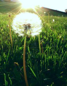 dandelion_sun1